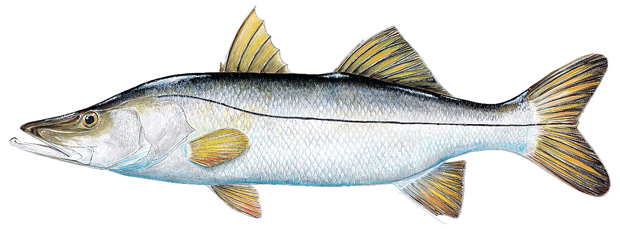 THE COMMON SNOOK